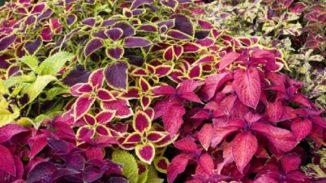 Preziose ortiche colorate: i Solenostemon
