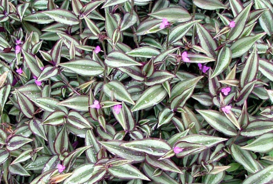 asparagina fiori e bacche