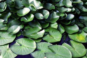 foglie di ninfea