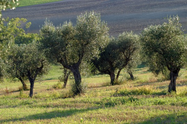 pianta_alpina_olivo