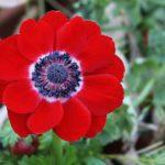 anemone hollandia