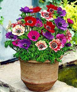 anemoni dei fiorai in vaso